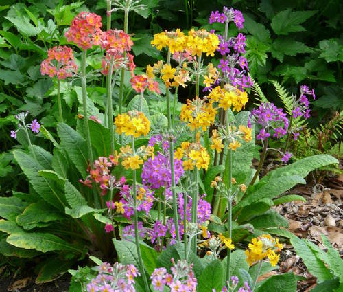 Produktbild Primula Bullesiana-Hybriden - Etagen-Primel