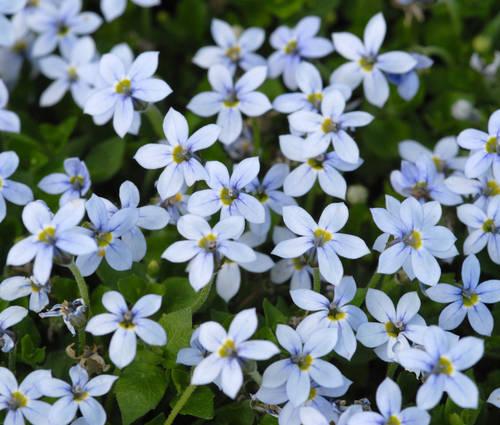 Produktbild Pratia pedunculata - Blauer Bubikopf