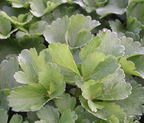 Produktbild Ligusticum scoticum - Schottischer Liebstöckel, Mutterwurz