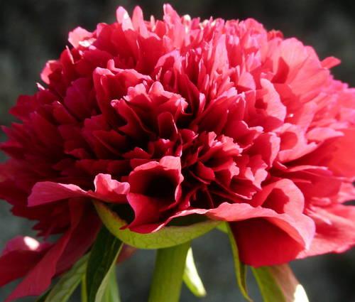 Produktbild Paeonia officinalis 'Rubra Plena' - Bauern-Pfingstrose