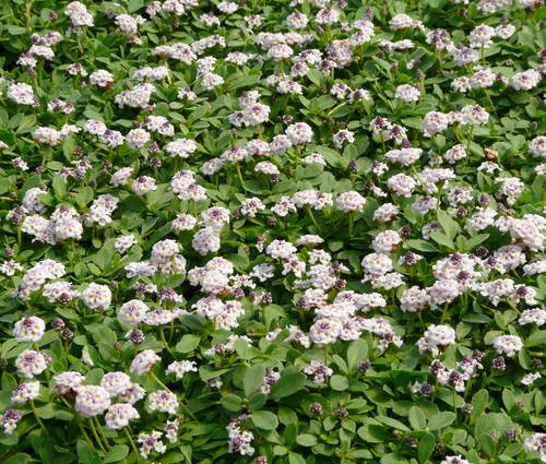 Produktbild Lippia nodiflora - Teppichverbene
