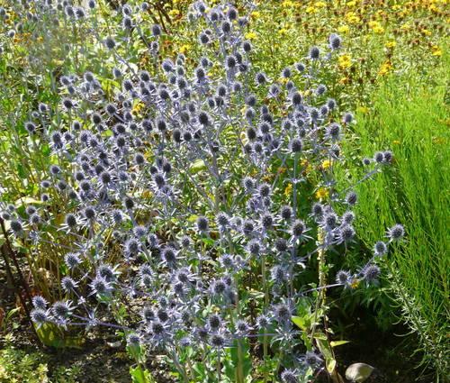 Produktbild Eryngium planum 'Blaukappe' - Kleiner Mannstreu