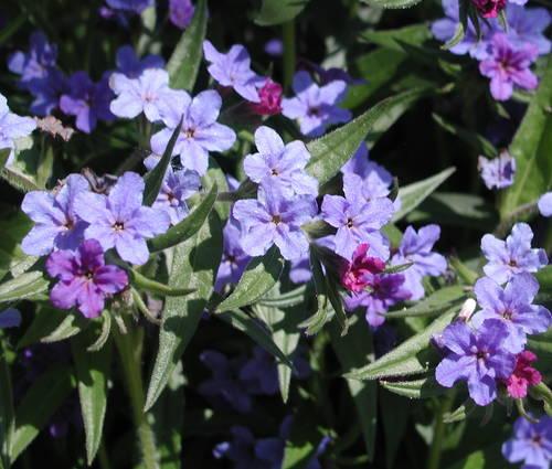 Produktbild Lithospermum purpurocaeruleum - Purpurblauer Steinsame