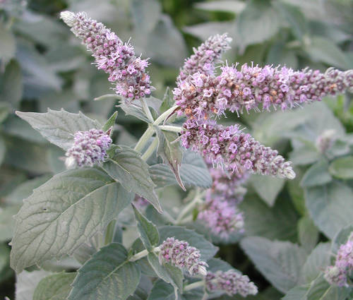 Produktbild Mentha longifolia 'Buddleia' - Silber-Minze