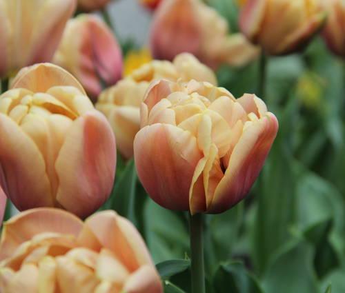 Produktbild Tulipa 'La Belle Epoque' - gefüllte späte Tulpe