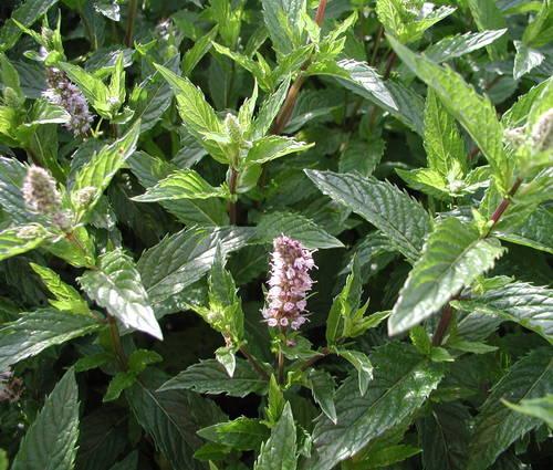 Produktbild Mentha spicata 'Englische Grüne' - Englische Grüne Minze
