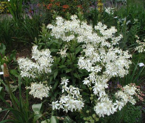 Produktbild Filipendula vulgaris - Kleines Mädesüß