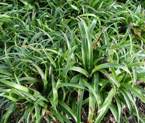 Produktbild Luzula pilosa 'Igel' - Frühlings-Hainsimse, Zwerg-Haar-Marbel