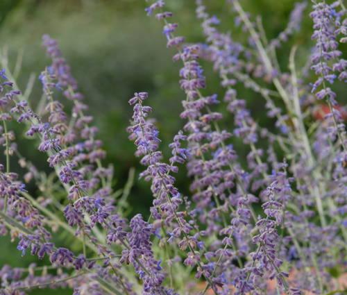 Produktbild Perovskia atriplicifolia 'Blue Spire' - Blauraute, Silberbusch