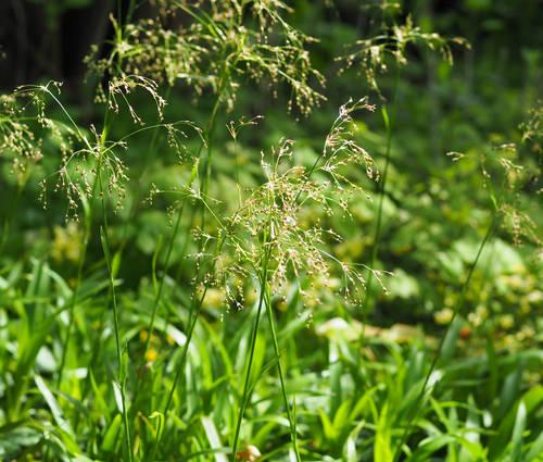 Produktbild Luzula sylvatica - Wald-Marbel