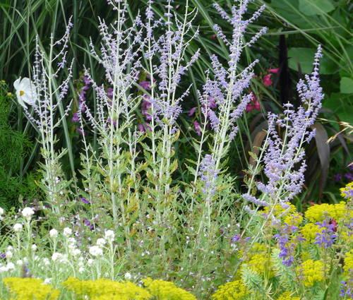 Produktbild Perovskia atriplicifolia 'Little Spire' ® - Kleine Blauraute, Silberbusch