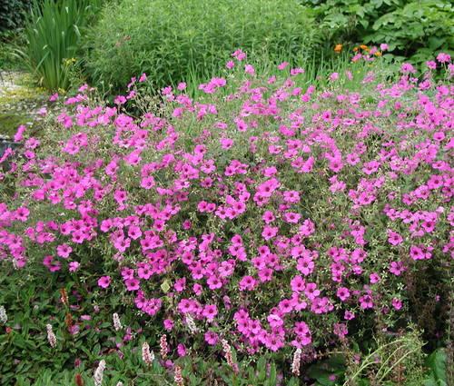 Produktbild Geranium Psilostemon-Hybride 'Patricia' - Armenischer Storchschnabel