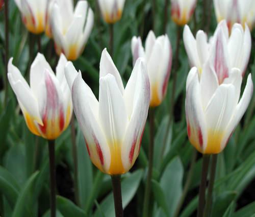 Produktbild Tulipa kaufmanniana 'Ice Stick' - Seerosen-Tulpe