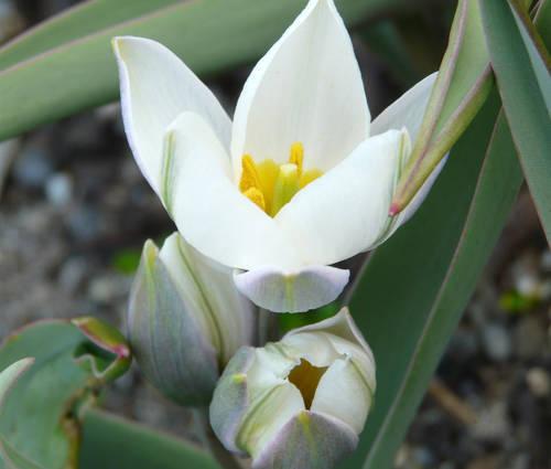 Produktbild Tulipa polychroma - Weiße Zwerg-Tulpe