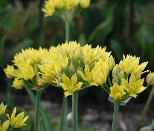 Produktbild Allium moly 'Jeannine' - Gold-Lauch