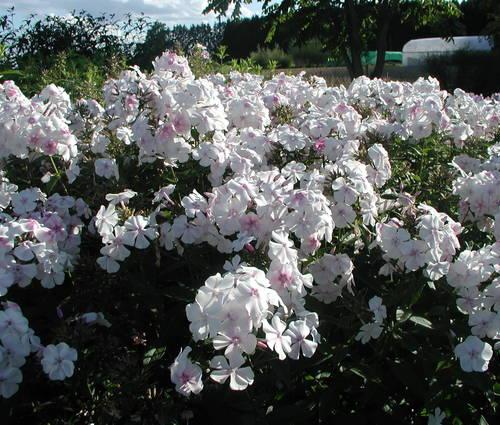 Produktbild Phlox paniculata 'Alabaster' - Sommer-Phlox