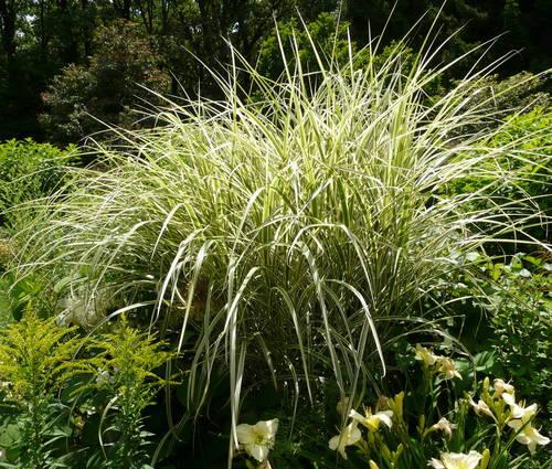 Produktbild Miscanthus sinensis 'Variegatus' - Weißbuntes Chinaschilf
