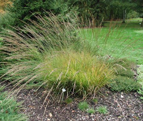 Produktbild Molinia caerulea 'Strahlenquelle' - Moor-Pfeifengras