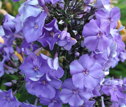 Produktbild Phlox paniculata 'Blue Paradise' - Sommer-Phlox