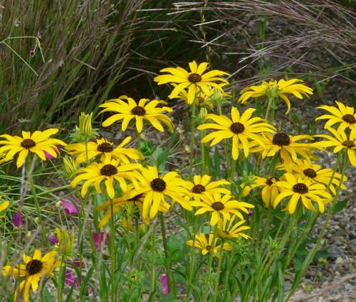 Produktbild Rudbeckia missouriensis - Missouri-Sonnenhut