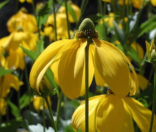 Produktbild Rudbeckia nitida 'Herbstsonne' - Fallschirm-Sonnenhut