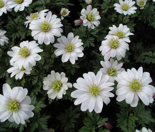 Produktbild Anemone blanda 'White Splendour' - Weiße Frühlings-Anemone