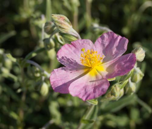 Produktbild Helianthemum Hybride 'Wisley Pink' - Sonnenröschen