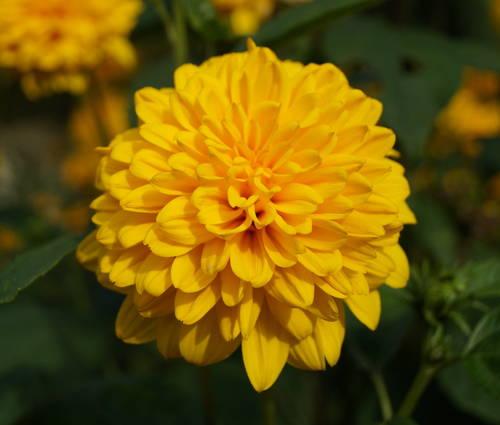 Produktbild Helianthus decapetalus 'Soleil d'Or' - Gefüllte Stauden-Sonnenblume