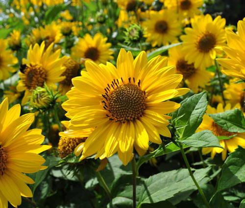 Produktbild Helianthus decapetalus 'Triomphe de Gand' - Stauden-Sonnenblume