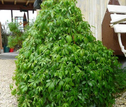 Produktbild Gynostemma pentaphyllum - Jiaogulan, Kraut der Unsterblichkeit