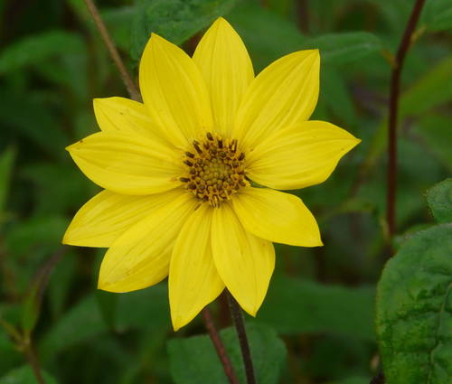 Produktbild Helianthus microcephalus - Stauden-Sonnenblume