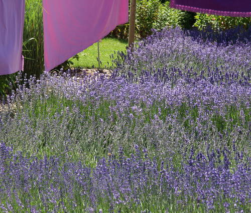 Produktbild Die Sonne lässt ihn duften - Lavendel