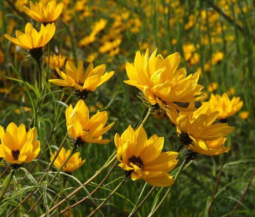 Produktbild Helianthus salicifolius - Weidenblättrige Sonnenblume