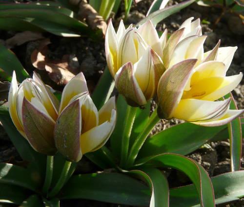 Produktbild Tulipa tarda - Zwerg-Stern-Tulpe