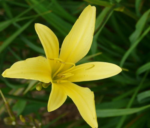 Produktbild Hemerocallis citrina - Zitronen-Taglilie