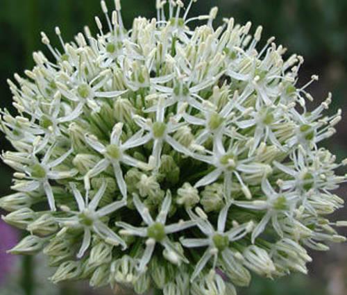 Produktbild Allium Hybride 'Mount Everest' - Weißer Riesen-Lauch