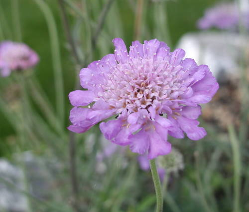 Produktbild Scabiosa japonica var. alpina - Japanische Berg-Skabiose